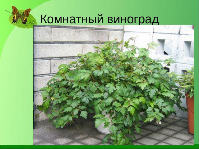 Комнатный виноград