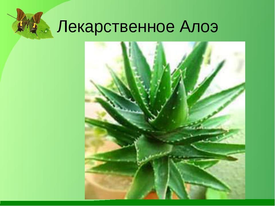 Лекарственное Алоэ