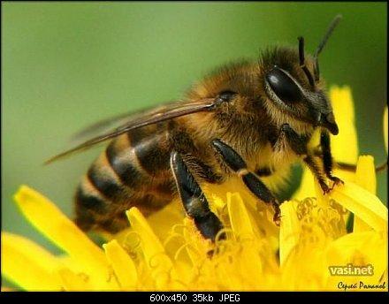 пчела, насекомые, Скачать Обои и Фото