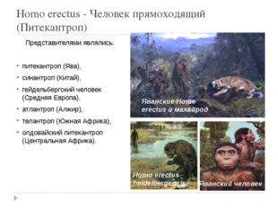 Homo erectus - Человек прямоходящий (Питекантроп) Представителями являлись: