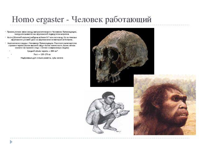 Homo ergaster - Человек работающий Промежуточное звено между австралопитекам...