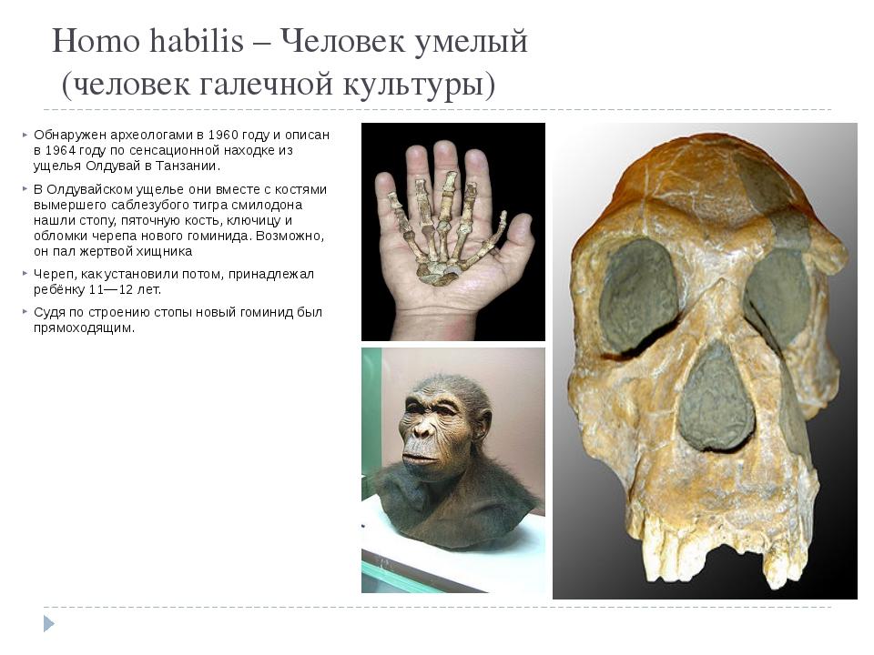 Homo habilis – Человек умелый  (человек галечной культуры) Обнаружен археоло...