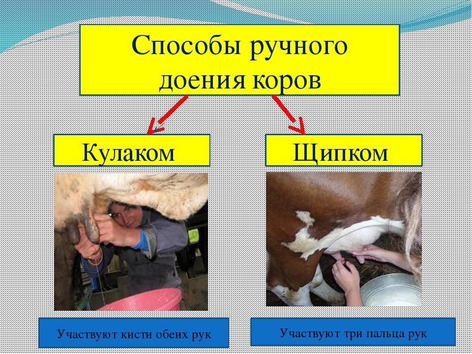 правила машинного доения коров картинки