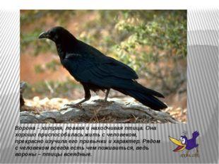 Ворона – хитрая, ловкая и находчивая птица. Она хорошо приспособилась жить с