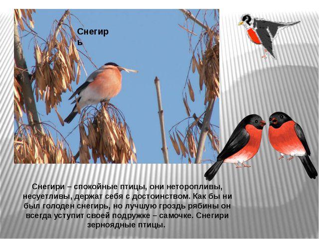 Снегирь Снегири – спокойные птицы, они неторопливы, несуетливы, держат себя с...