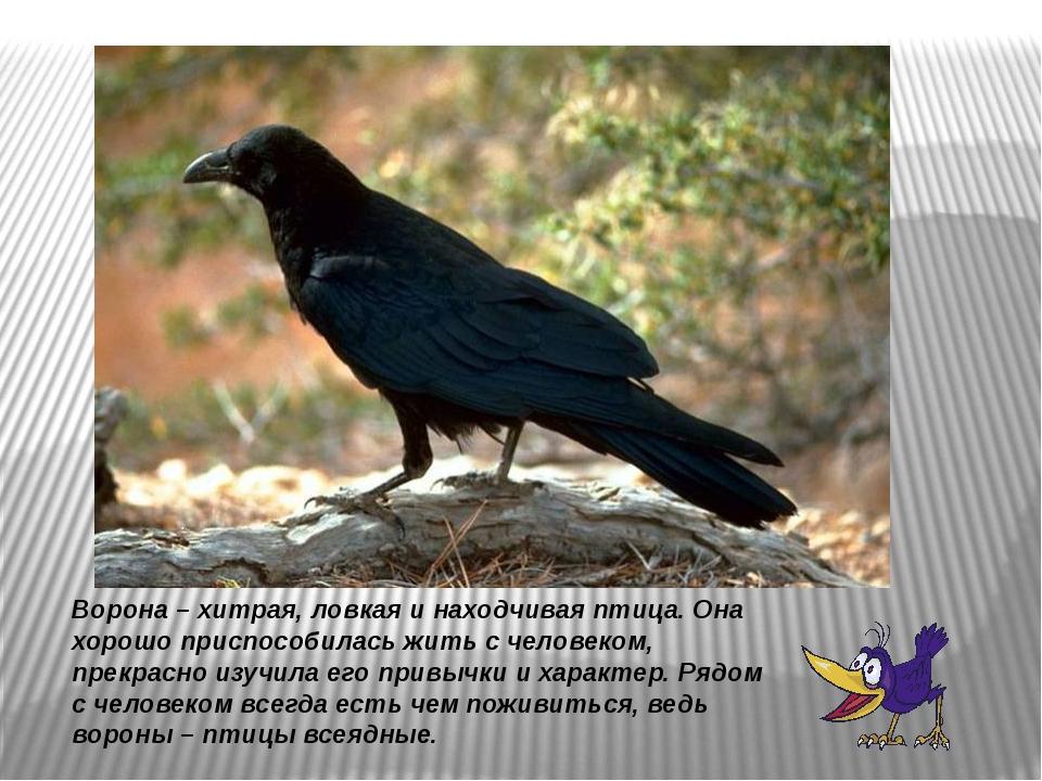 Ворона – хитрая, ловкая и находчивая птица. Она хорошо приспособилась жить с...