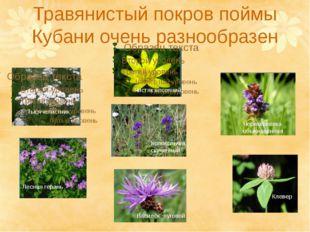 Травянистый покров поймы Кубани очень разнообразен Лесная герань Тысячелистни