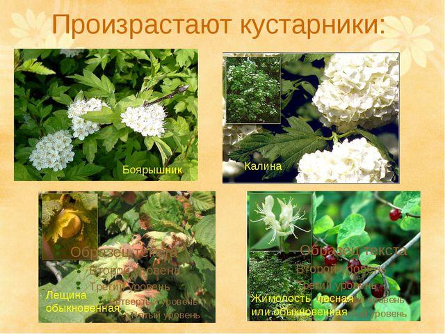 Произрастают кустарники: Лещина обыкновенная Жимолость лесная или обыкновенна...