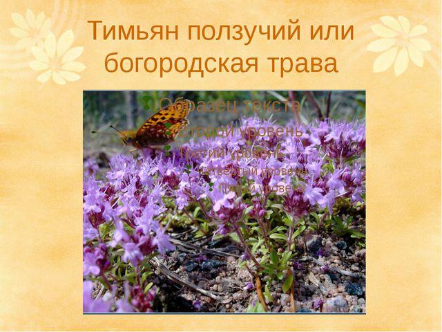 Тимьян ползучий или богородская трава