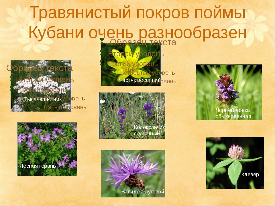 Травянистый покров поймы Кубани очень разнообразен Лесная герань Тысячелистни...