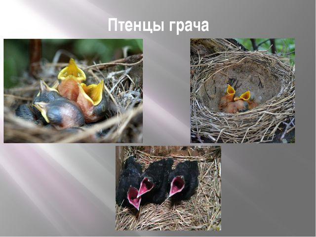 Птенцы грача