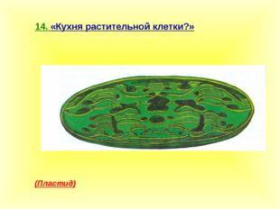14. «Кухня растительной клетки?» (Пластид)