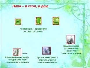 Насекомые – вредители на листьях липы Зимой на липах устраиваются на ночлег с