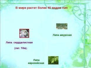 В мире растет более 40 видов лип Липа европейская Липа амурская Липа сердцели