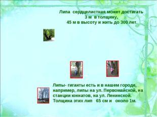 Липа сердцелистная может достигать 3 м в толщину, 45 м в высоту и жить до 300