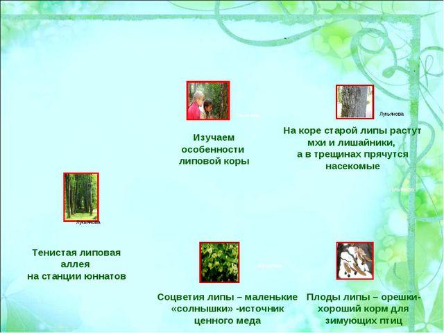 Тенистая липовая аллея на станции юннатов На коре старой липы растут мхи и ли...