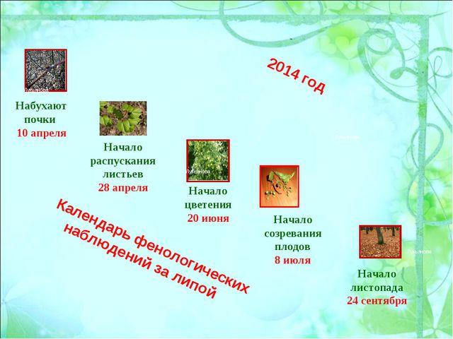 Календарь фенологических наблюдений за липой Набухают почки 10 апреля Начало...