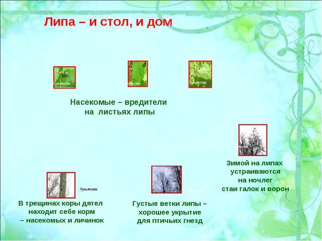 Насекомые – вредители на листьях липы Зимой на липах устраиваются на ночлег с...