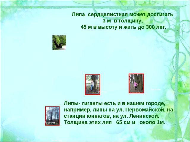 Липа сердцелистная может достигать 3 м в толщину, 45 м в высоту и жить до 300...