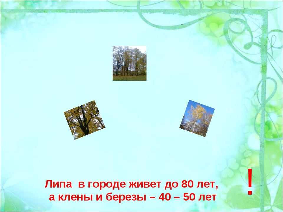 Липа в городе живет до 80 лет, а клены и березы – 40 – 50 лет !