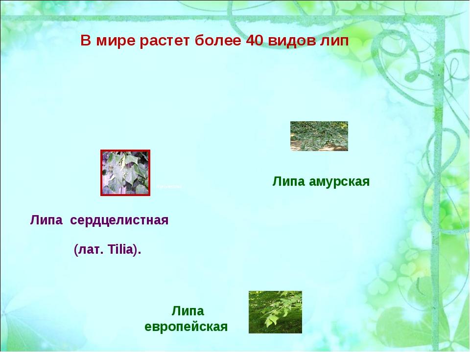 В мире растет более 40 видов лип Липа европейская Липа амурская Липа сердцели...