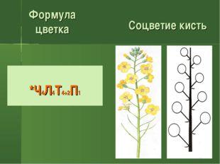 Соцветие кисть Формула цветка *Ч4Л4Т4+2П1