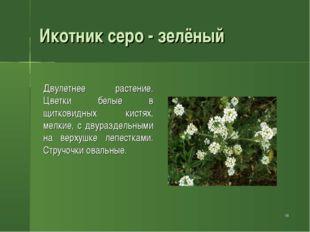 * Икотник серо - зелёный Двулетнее растение. Цветки белые в щитковидных кист