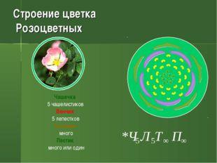 Строение цветка Розоцветных Чашечка 5 чашелистиков Венчик 5 лепестков Тычинки