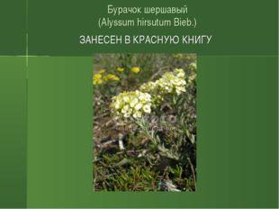 Бурачок шершавый (Alyssum hirsutum Bieb.) ЗАНЕСЕН В КРАСНУЮ КНИГУ