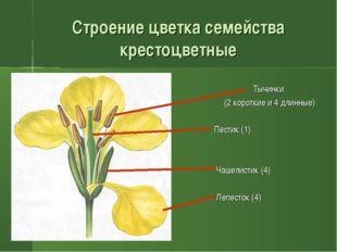 Строение цветка семейства крестоцветные Тычинки (2 короткие и 4 длинные) Пест