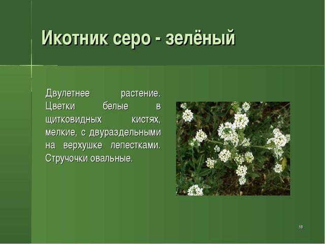 * Икотник серо - зелёный Двулетнее растение. Цветки белые в щитковидных кист...
