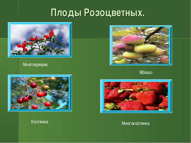 Плоды Розоцветных. Многоорешек Костянка Яблоко Многокостянка