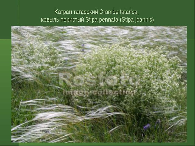 Катран татарский Crambe tatarica, ковыль перистый Stipa pennata (Stipa joannis)