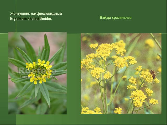 Желтушник лакфиолевидный Erysimum cheiranthoides Вайда красильная