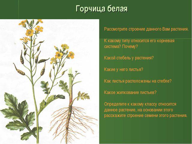 Горчица белая Рассмотрите строение данного Вам растения. К какому типу относи...