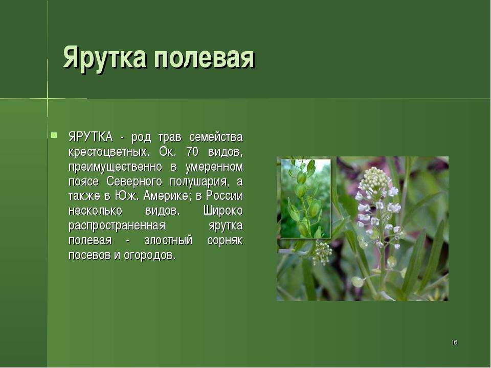 * Ярутка полевая ЯРУТКА - род трав семейства крестоцветных. Ок. 70 видов, пре...