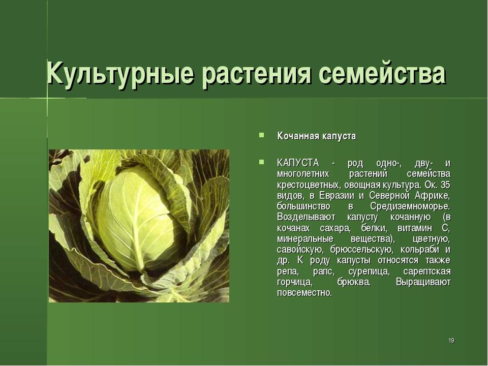 * Культурные растения семейства Кочанная капуста КАПУСТА - род одно-, дву- и...