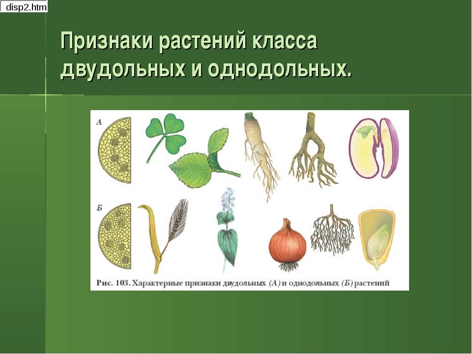 Признаки растений класса двудольных и однодольных.