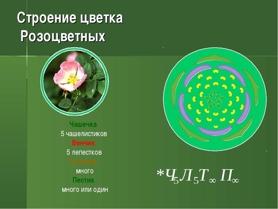 Строение цветка Розоцветных Чашечка 5 чашелистиков Венчик 5 лепестков Тычинки...