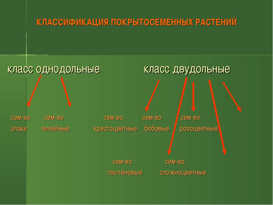 КЛАССИФИКАЦИЯ ПОКРЫТОСЕМЕННЫХ РАСТЕНИЙ класс однодольные класс двудольные се...