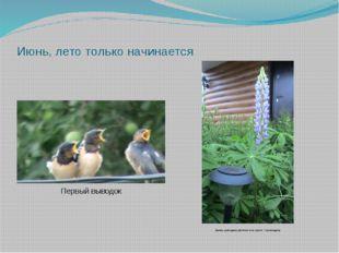 Июнь, лето только начинается Первый выводок Люпин- культурное растение или со