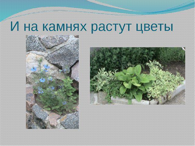 И на камнях растут цветы