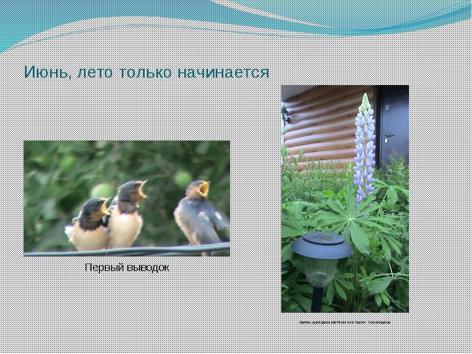 Июнь, лето только начинается Первый выводок Люпин- культурное растение или со...