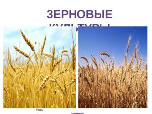 ЗЕРНОВЫЕ КУЛЬТУРЫ Рожь пшеница