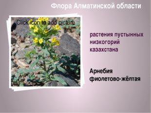 растения пустынных низкогорий казахстана Арнебия фиолетово-жёлтая Флора Алмат