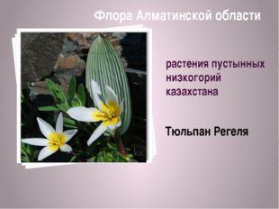 растения пустынных низкогорий казахстана Тюльпан Регеля Флора Алматинской обл