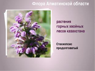 растения горных хвойных лесов казахстана Стахиопсис продолговатый Флора Алмат