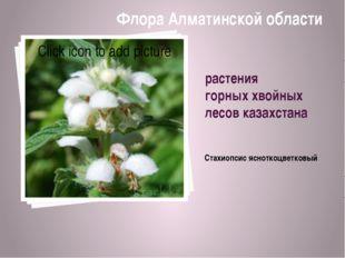 растения горных хвойных лесов казахстана Стахиопсис ясноткоцветковый Флора Ал