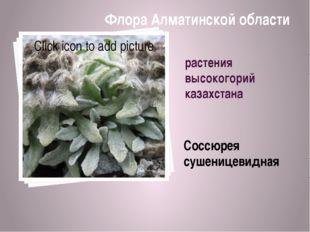 растения высокогорий казахстана Соссюрея сушеницевидная Флора Алматинской обл