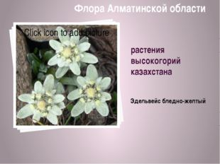 растения высокогорий казахстана Эдельвейс бледно-желтый Флора Алматинской обл